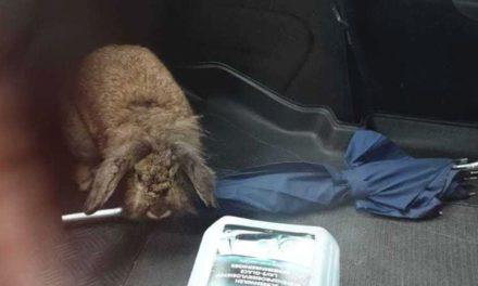 Wie is de eigenaar van dit konijn?