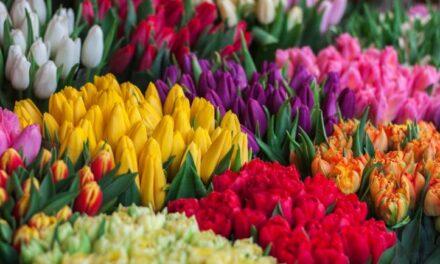 Aangepaste verkoop tulpenbollen Raptim JO19